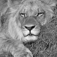 Il leone di Emendi