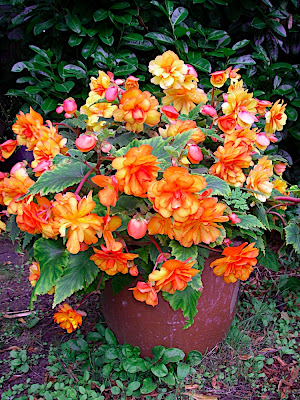These begonias are not on the water main and so need manual watering.