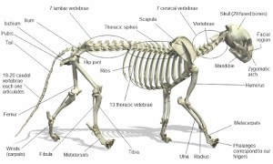Cat Anatomy Facts For Kids – PoC