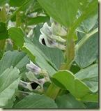 broad bean flowers_1
