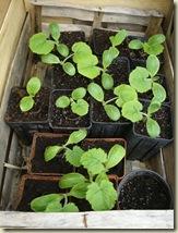 courgette plants_1_1