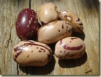 bean seeds 2_1_1