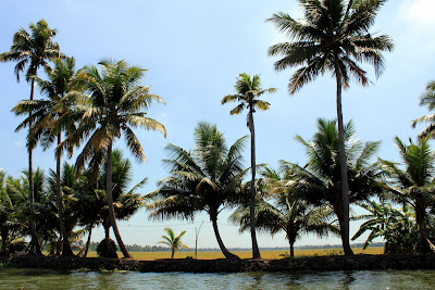 Paddy fields behind the coconut trees