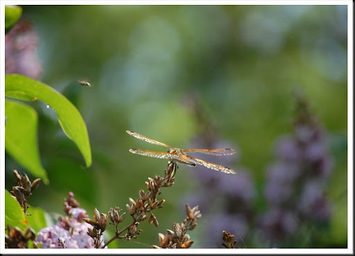 Dragonfly Back