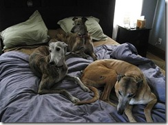 greyhoundbed