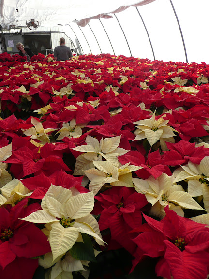 OCC Horticulture Club Poinsettias