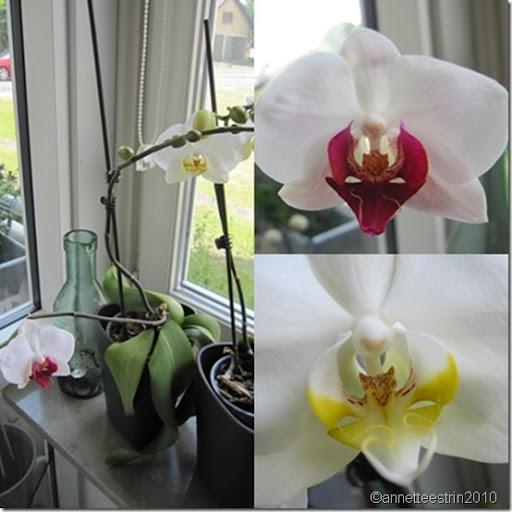 blomsrende orkidéer