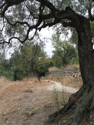oliveres i marges de pedra seca.jpg