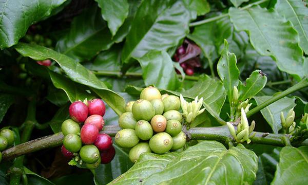 Kopi (Coffea robusta L)
