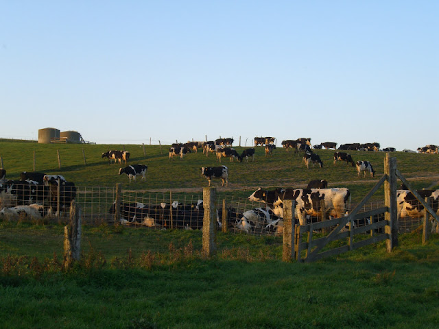 Lots of Dairy Cows!