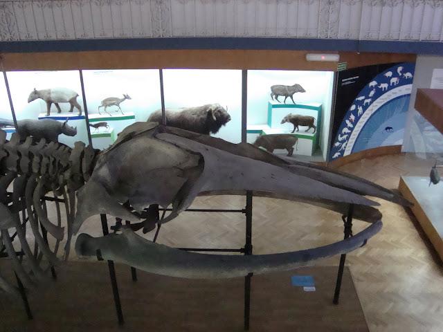 Czaszka płetwala błękitnego