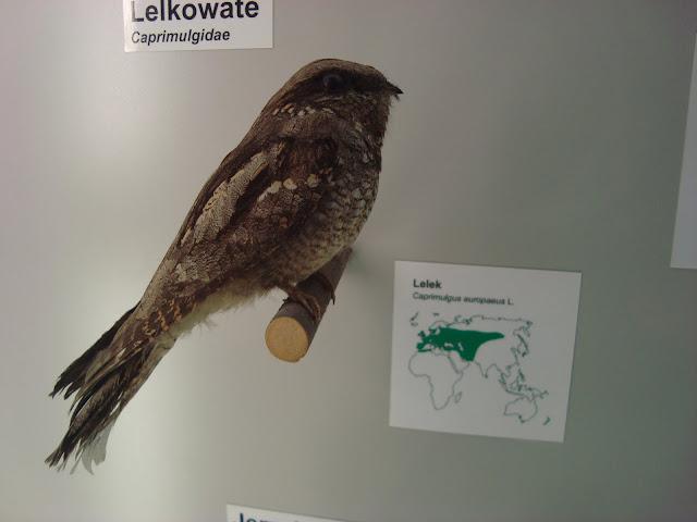 Muzeum Przyrodnicze we Wrocławiu - Lelek
