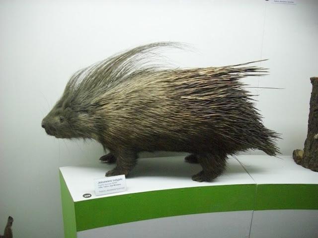 Muzeum Przyrodnicze we Wrocławiu - Jeżozwierz indyjski