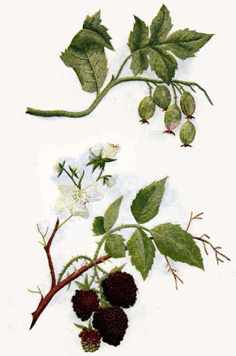 blackberries and gooseberries