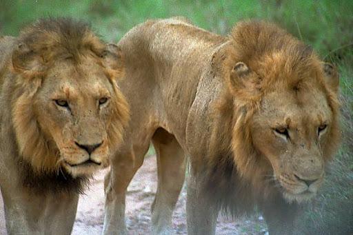 01_28_1---Lions_web.jpg