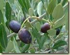 olives october_1_1