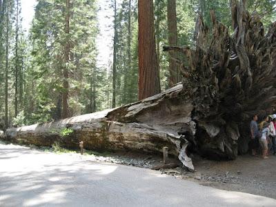 huge root