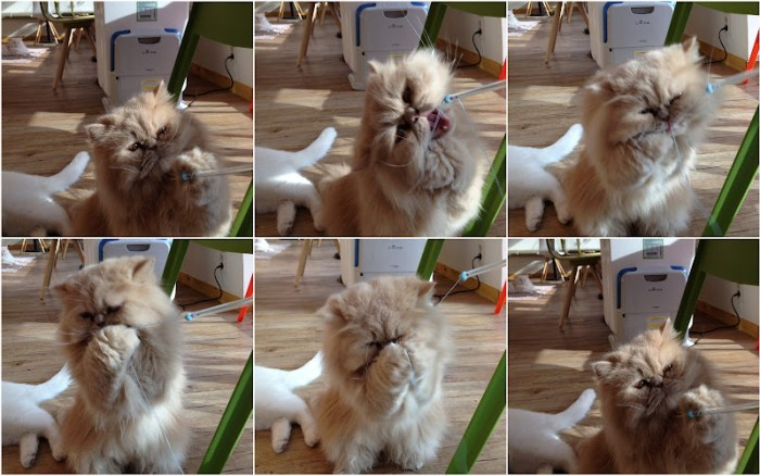 A persian cat playing at Tom's Cat Cafe Hongdae