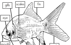 Mrs I's Class: Label the Parts of a Fish (freebie)