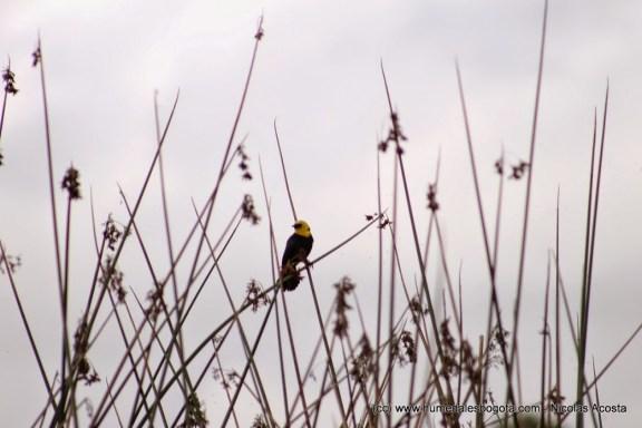 Chrysomus icterocephalus, comúnmente llamada monjita; símbolo de las aves en Capellanía