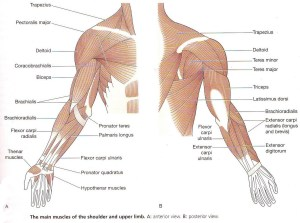 My Blog: Muscles of the upper limb