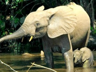 Okomu rainforest elephant