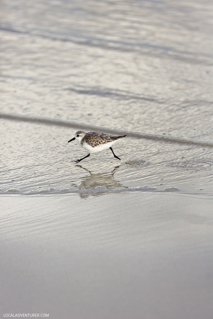 Sanderling - Galapagos Birds.