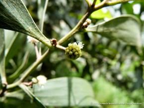 Flor acacia negra
