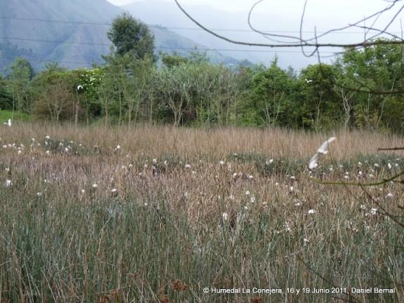 Miles de garzas en el humedal La Conejera