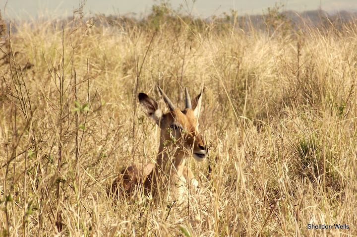 Young Male Impala Hiding Awaya