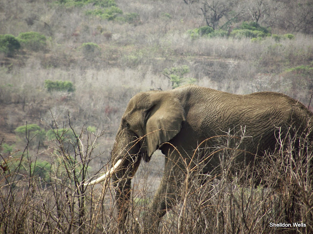 Elephant on our Durban Day Safari Tour to the Hluhluwe Imfolozi Game Reserve