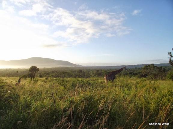 beautiful early morning giraffe picture