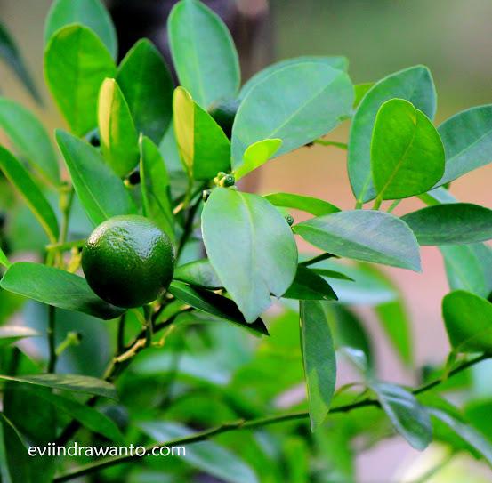 jeruk kalamansi organik