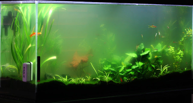 Image result for algae explosion fish tank