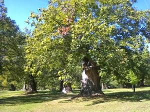 Chestnut grove near Méailles
