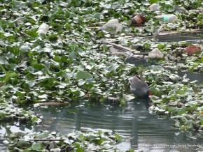 Tingua, buchón y basura en el Humedal Jaboque