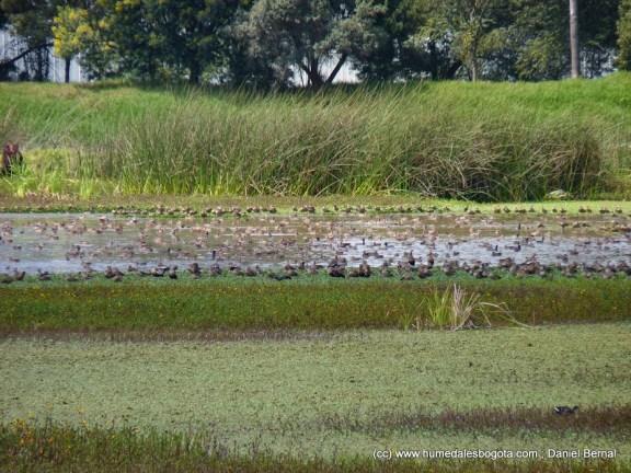 Miles de patos canadienses en el 2012