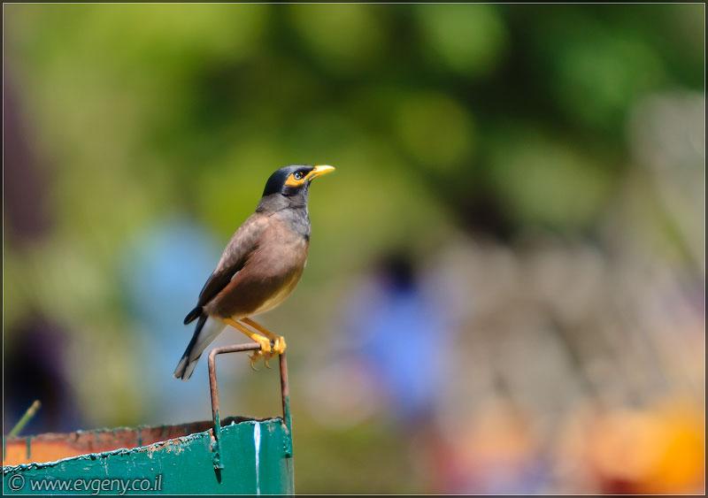 Утренний птах