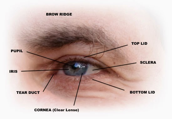 brow ridge, pupil, iris, tear duct, cornea, top lid, sclera, bottom lid