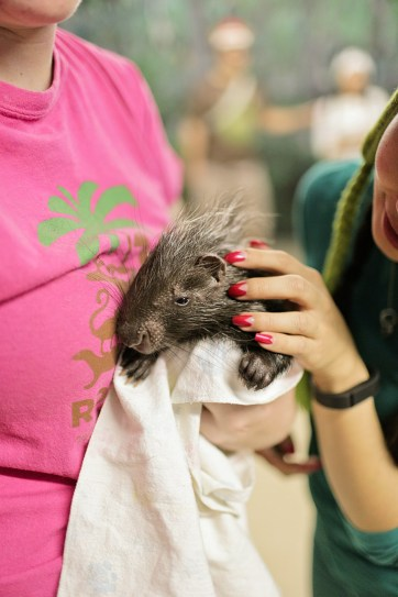 Baby Porcupine Pictures.