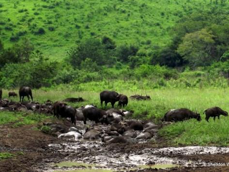 Buffalo at Hluhluwe Imfolozi Game Reserve
