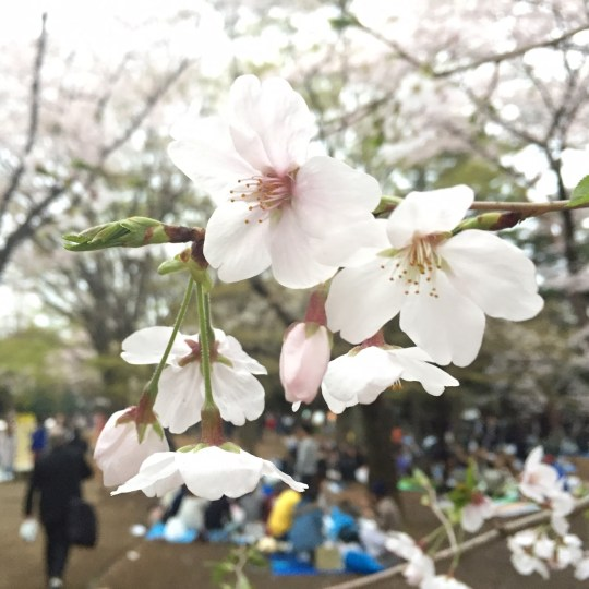 sakura in yoyogi park