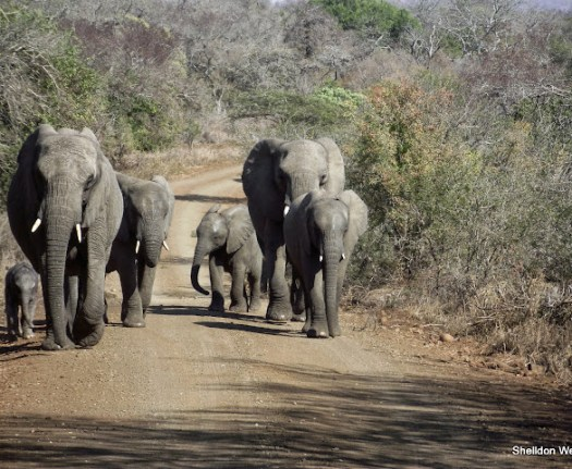 herd of elephant spotted at the hlluhluwe imfolozi game reserve on this overnight safari tour