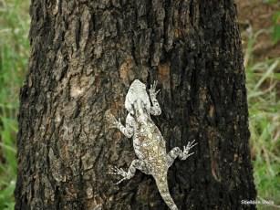 Agama lizard at Hluhluwe Imfolozi Game Reserve