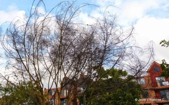 Acacia y aves perchado sobre ella