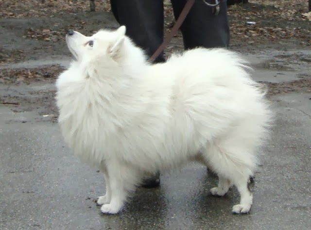 japanese spitz obedience training