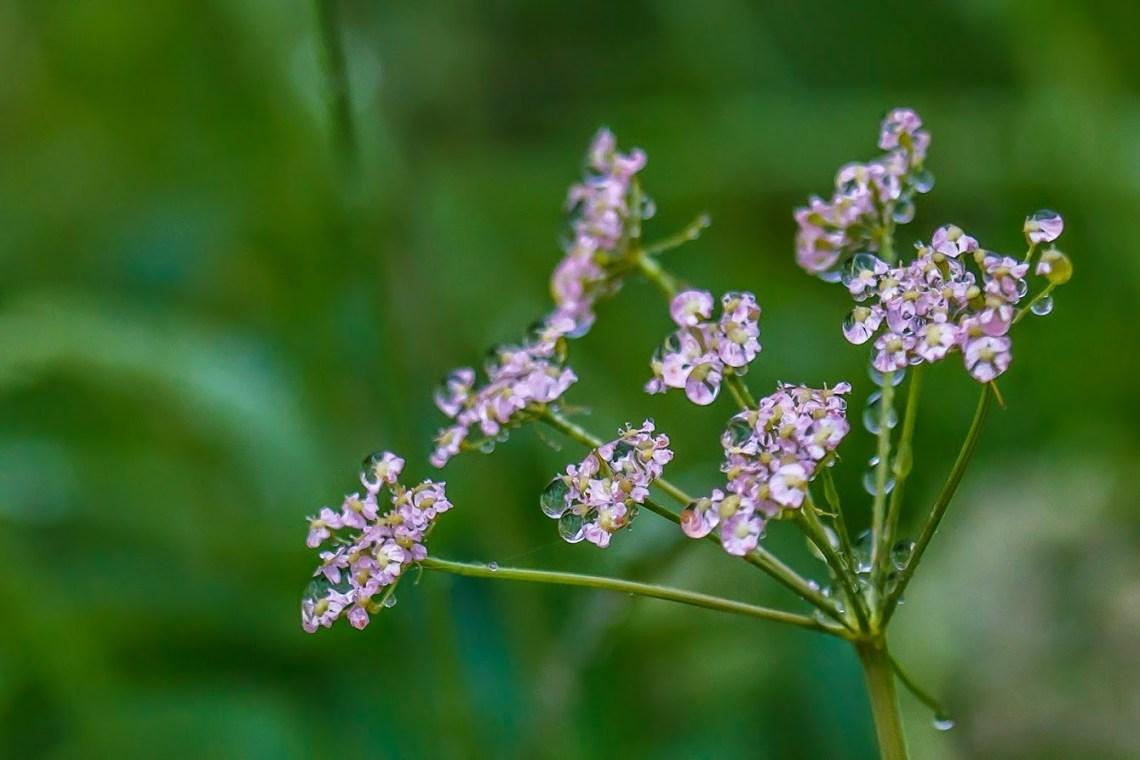 Flowers on the Svartifoss trail