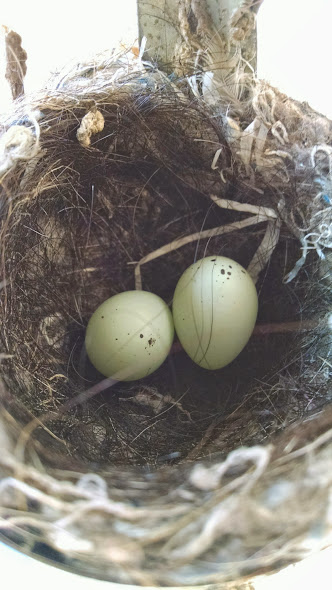 new bird eggs