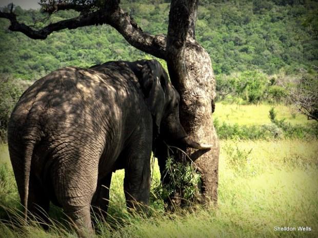Bull Elephant at Hluhluwe Imfolozi Game Reserve