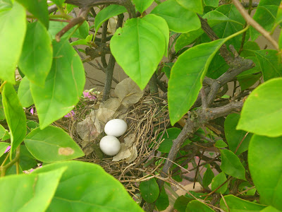 Two bird eggs in a nest